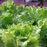Lettuce Begin