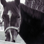 Salt Spring Horse